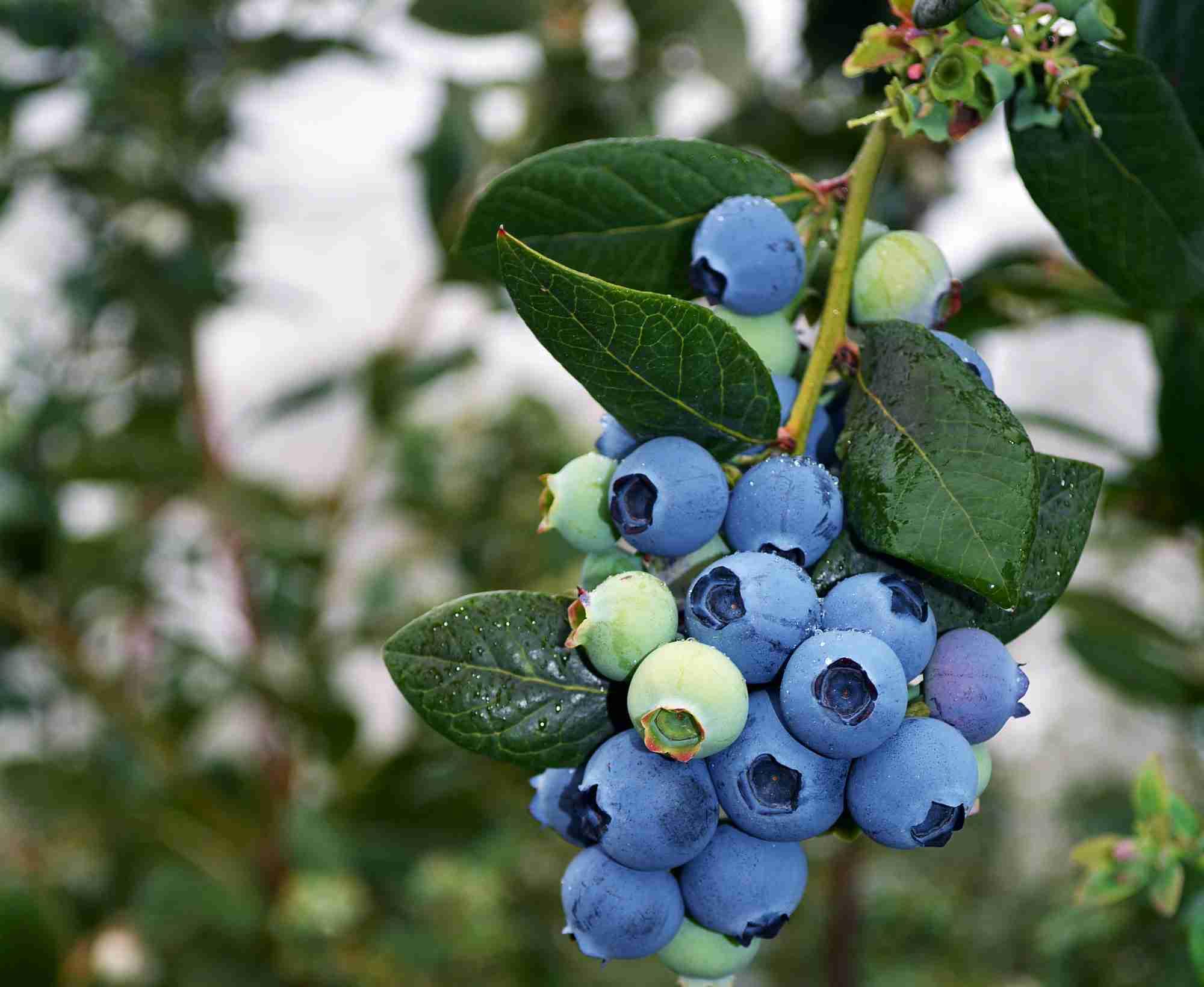 Blueberry Burst 174 Plantnet 174 Australia
