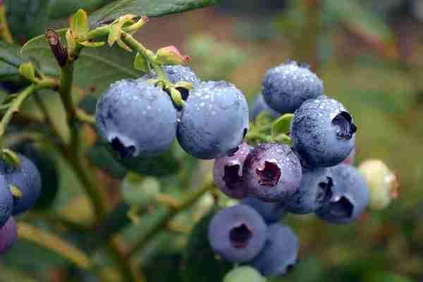Blueberry Burst®   PlantNet® Australia