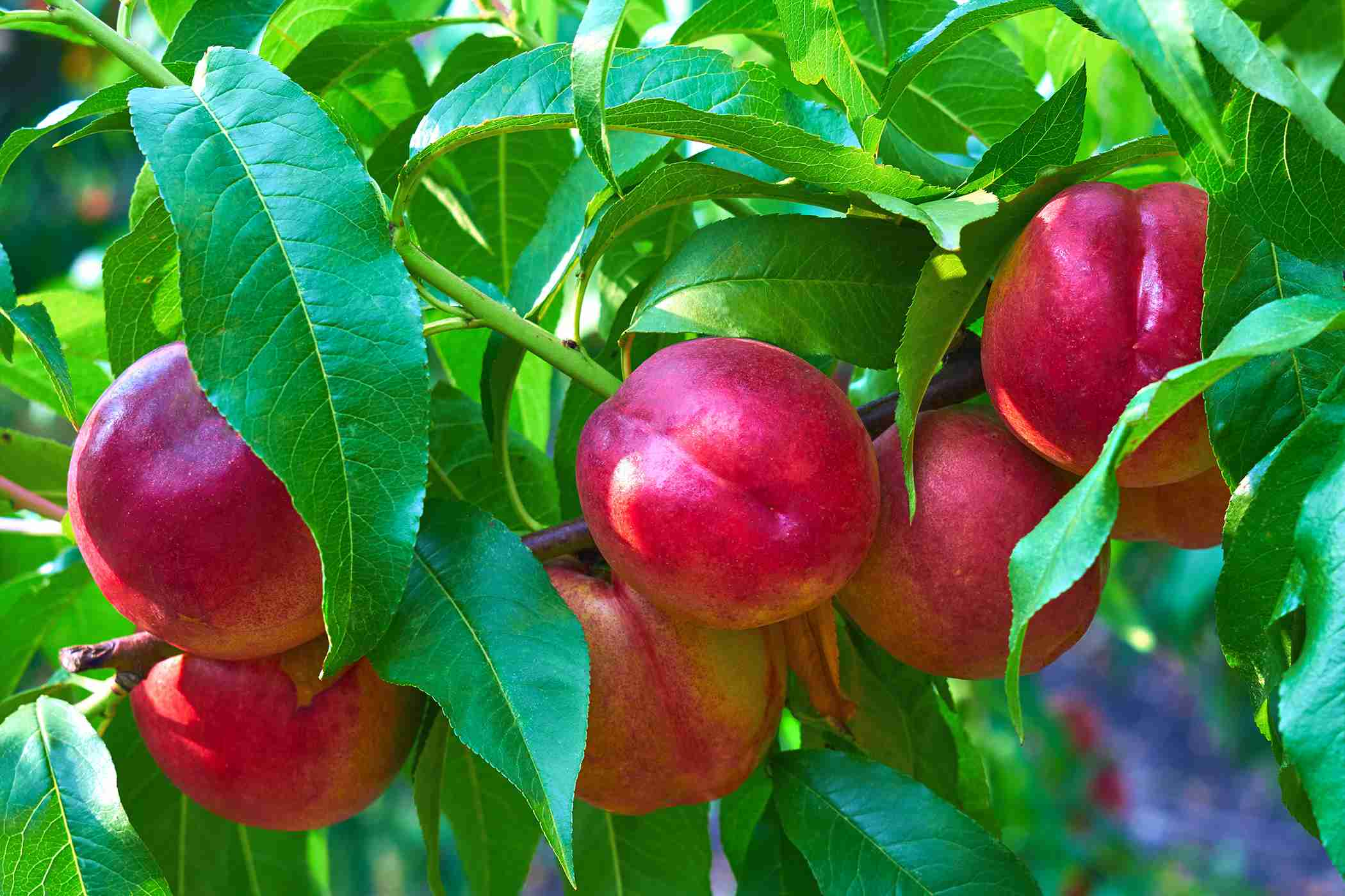 Nectarine Tree Pictures