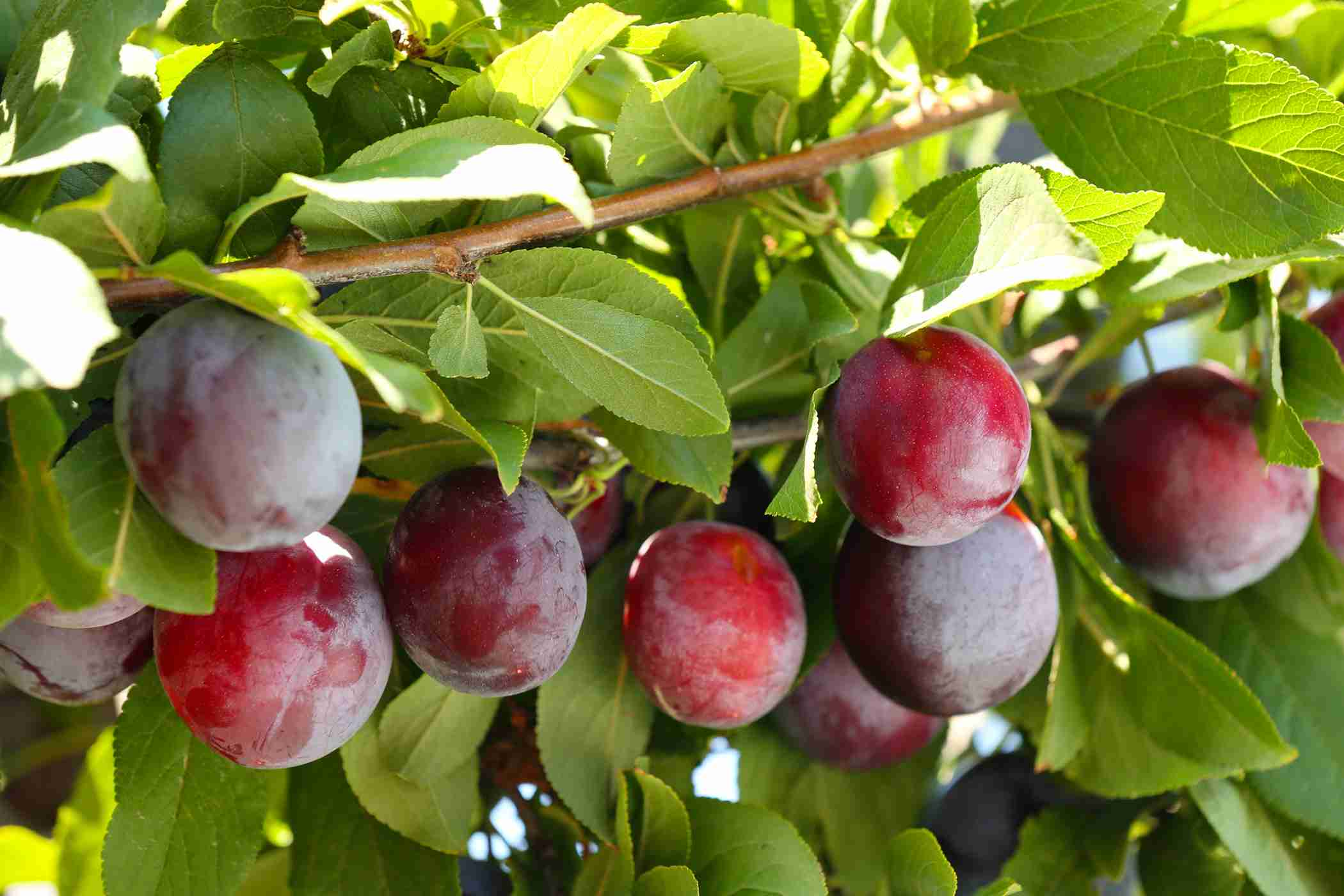 Plum Tree Varieties Pictures